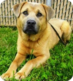 Chow Chow/Labrador Retriever Mix Dog for adoption in Lincolnton, North Carolina - Walter