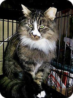 Turkish Angora Cat for adoption in Santa Fe, New Mexico - Clara 3