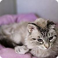 Adopt A Pet :: Starlight Shenanigan - Chicago, IL