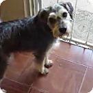 Adopt A Pet :: BEN, Schnauzer ,37 Lbs