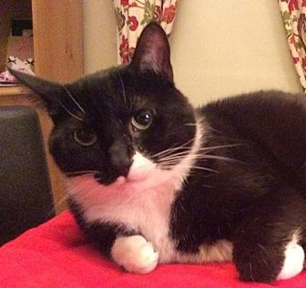 Domestic Shorthair Cat for adoption in St. Louis, Missouri - Mia