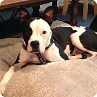 Adopt A Pet :: Motley - Doylestown, PA