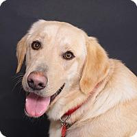 Adopt A Pet :: Trigger - Sudbury, MA