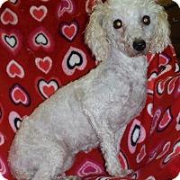 Adopt A Pet :: CiCi - Manchester, NH