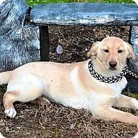 Adopt A Pet :: Ginny - Brunswick, ME