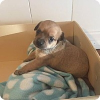 Adopt A Pet :: Mickey - Torrance, CA