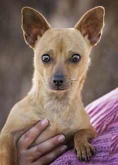 Chihuahua Mix Dog for adoption in El Cajon, California - Mikki