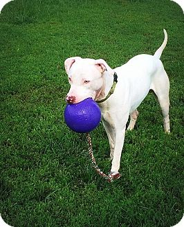 Pit Bull Terrier Dog for adoption in Lincoln, Nebraska - Rico Suave