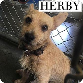 Cairn Terrier/Irish Terrier Mix Dog for adoption in San Antonio, Texas - Herby