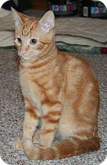 Domestic Shorthair Kitten for adoption in Brighton, Missouri - Ollie