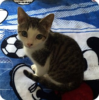 Domestic Shorthair Kitten for adoption in Monroe, North Carolina - Pickles
