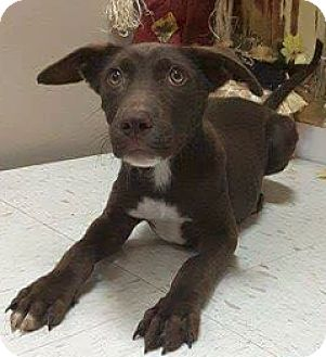 Labrador Retriever Mix Puppy for adoption in Pompton Lakes, New Jersey - Chocolate laB x