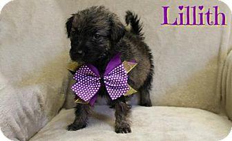 Shepherd (Unknown Type) Mix Puppy for adoption in Houston, Missouri - Lillith