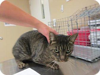 Domestic Shorthair Cat for adoption in Cumming, Georgia - Dodger