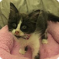 Adopt A Pet :: C24 Litter-Marabelle - Livonia, MI