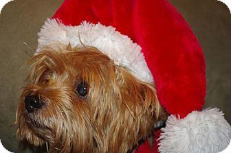 Yorkie, Yorkshire Terrier Dog for adoption in Longview, Washington - Parker