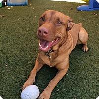 Adopt A Pet :: Cooper - Long Beach, CA