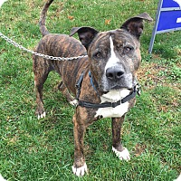 American Pit Bull Terrier Mix Dog for adoption in Mt Vernon, New York - Taz