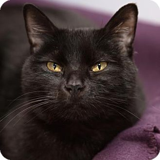 Domestic Shorthair Cat for adoption in Mission Hills, California - Midnight