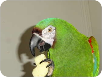 Macaw for adoption in Vancouver, Washington - Jasper Mini Macaw