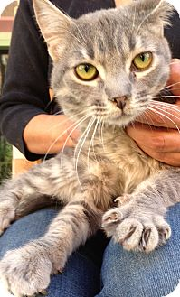 Domestic Mediumhair Kitten for adoption in Thousand Oaks, California - Sara