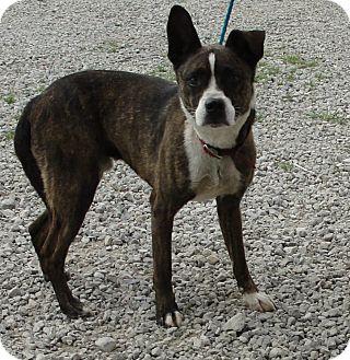 Boxer/Australian Cattle Dog Mix Dog for adoption in Washington Court ...