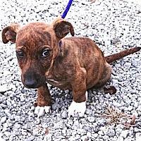 Adopt A Pet :: *Benjamin - PENDING - Westport, CT