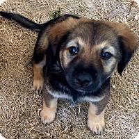 Adopt A Pet :: Belle - Long Beach, CA
