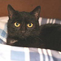 Adopt A Pet :: Nick (barn cat) - McCormick, SC