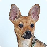 Adopt A Pet :: Lucetta - Walnut Creek, CA