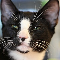 Adopt A Pet :: Tangelo - Marietta, GA