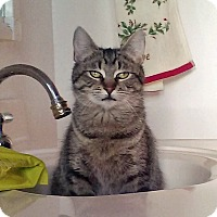 Adopt A Pet :: Tabitha - Troy, MI