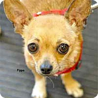 Adopt A Pet :: Pippa - Warren, PA