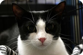 Domestic Shorthair Cat for adoption in Madisonville, Louisiana - Lacie