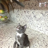 Russian Blue Kitten for adoption in Sunny Isles Beach, Florida - Blueboy