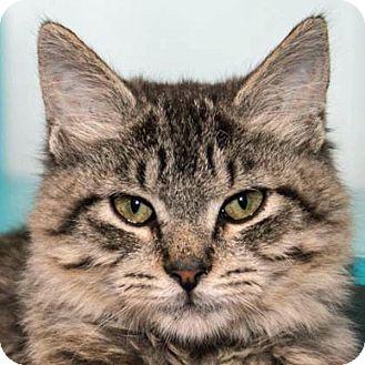 Domestic Mediumhair Kitten for adoption in Prescott, Arizona - Jupiter