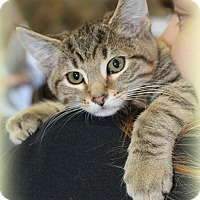 Domestic Shorthair Kitten for adoption in Millersville, Maryland - Mouse