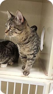 Domestic Shorthair Kitten for adoption in Denver, Colorado - Cat-Gabby