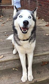 Siberian Husky Dog for adoption in Hewitt, New Jersey - Orion - ON HOLD - NO MORE APPLICATIONS