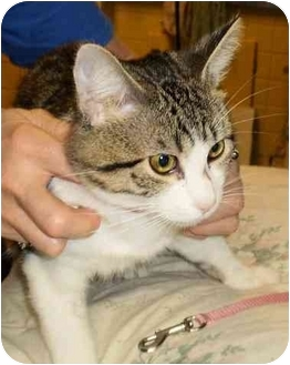 Domestic Shorthair Cat for adoption in Chesterland, Ohio - Gary