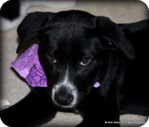 Australian Shepherd/Labrador Retriever Mix Puppy for adoption in Marlton, New Jersey - Baby Riley