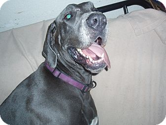 Great Dane Dog for adoption in Phoenix, Arizona - Gem
