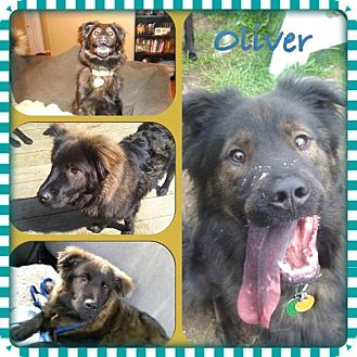 OLIVER | Adopted Dog | Kingston, WA | Border Collie/Chow ...