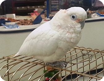 Cockatoo for adoption in Shawnee Mission, Kansas - Lucy