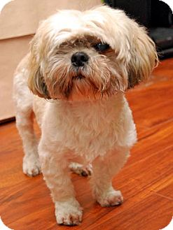 Lhasa Apso Dog for adoption in Los Angeles, California - TYLER