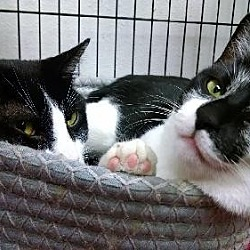 Photo 2 - Domestic Shorthair Cat for adoption in Albuquerque, New Mexico - Jeremiah