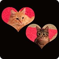 Domestic Longhair Cat for adoption in Arlington, Virginia - Katherine and Mason