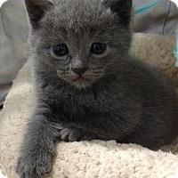 Adopt A Pet :: GREY - Lakewood, CA