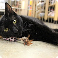 Domestic Shorthair Cat for adoption in Verona, New Jersey - Spica
