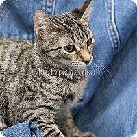 Domestic Shorthair Cat for adoption in Oviedo, Florida - Watson